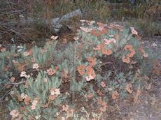 Eriogonum arborescens, Santa Cruz Island Buckwheat turns brown as the flowers get older.