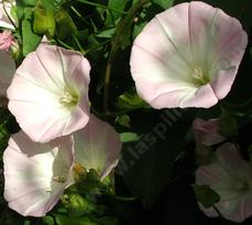 Calystegia macrostegia, California  Morning Glory - grid24_6