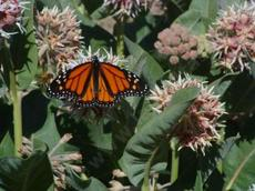 Monarch Butterfly, Danaus plexippus  on a Showy milkweed - grid24_6