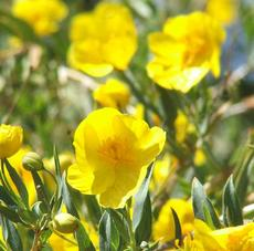 Dendromecon rigida, Bush Poppy, is flowering here in the chaparral of San Luis Obispo county, California, in the late spring. - grid24_6