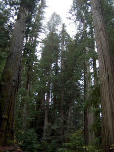 California coastal redwood forest copyrighted photo - grid24_6