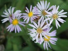 Symphyotrichum ascendens, Western aster, is a plant of the mountains, but grows well at lower elevations also.