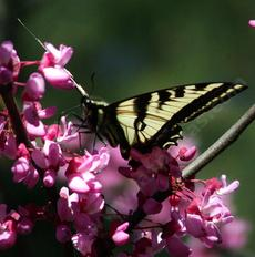 Pale swallowtail on a Western Redbud - grid24_6