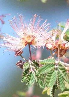 Calliandra eriophylla, Fairy Duster pink flowers.