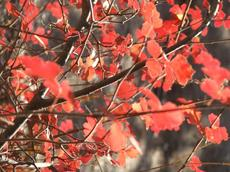 Rhus trilobata, Squaw Bush Sumac with the fall color of red.