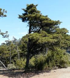 A Cupressus sargentii,  Sargent Cypress tree on top of Cuesta  Ridge north of San Luis Obispo - grid24_6