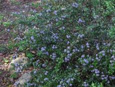 Ceanothus Mills Glory as groundcover - grid24_6