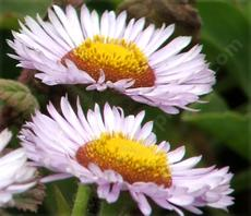 Erigeron glaucus, Seaside Daisy side view - grid24_6