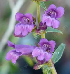 Penstemon speciosus,  Showy Penstemon flowers.