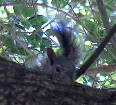 A tree squirrel watching from a Quercus agrifolia, Coast Live Oak - grid24_6