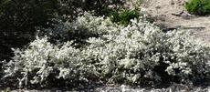 Ceanothus Snowball makes a real show in spring. Mounding about 2-3 ft. tall use in the center of a lower ground cover. - grid24_6