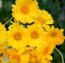 A closeup photo of the flowers of Baileya multiradiata, Desert Marigold.