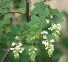 White Chaparral Currant, Ribes indecorum is native from southern Monterey Co., to San Diego, it used to be a common shrub throughout the Los Angeles basin and the Santa Monica Mountains.