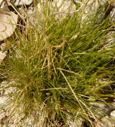Deschampsia elongata Slender hairgrass - grid24_6