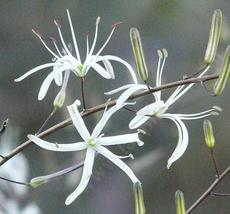 The Soap plant flowers are delicate white flowers on a three foot stalk - grid24_6