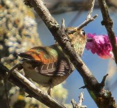 A hummingbird sipping nectar from a flower of Chilopsis linearis, Desert Willow, while hovering in mid-air. - grid24_6