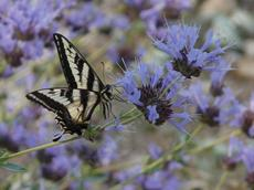 A pale Swallowtail butterfly on a Salvia clevelandii alpine.