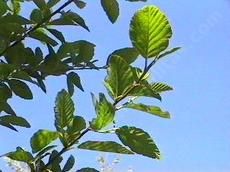 Alnus rhombifolia, White Alder, is found in areas where there is water year-round. - grid24_6