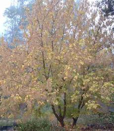 Box Elder tree,  Acer negundo californicum with fall color in fog.