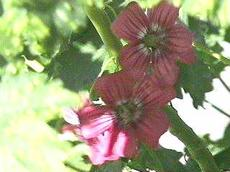 Lavatera assurgentiflora, Malva Rosa, is a mallow that is showy, but is loved by all critters.