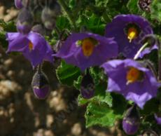 Solanum xanti,  Purple Nightshade has bright purple flowers  - grid24_6