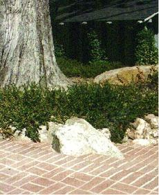 An old picture of Ceanothus  gloriosus growing over rocks next to a brick patio. - grid24_6