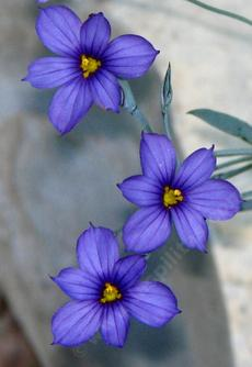 Sisyrinchium bellum, Blue-Eyed Grass - grid24_6
