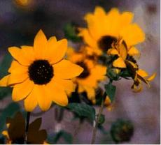 Here is a very old photo, circa 1979, of Helianthus gracilentus, Slender Sunflower, a very short-lived perennial sunflower.