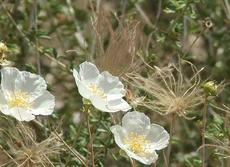 Fallugia paradoxa, Apache Plume, is a delicate shrub with pretty white flowers, and plumose fruits.