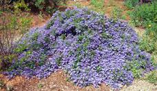 This Ceanothus Joyce Coulter was in Greg Rubins' back yard in Escondido