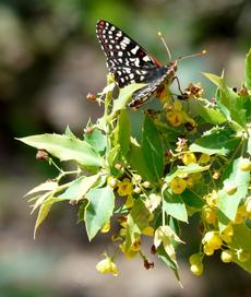 A Checkerspot Butterfly  on a Mahonia nevinii - grid24_6