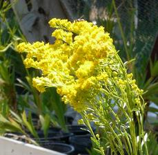 Solidago confinis, Yellow Butterfly Weed flowers.
