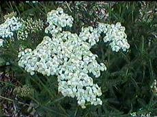 Achillea millefolium (Common yarrow) - grid24_6