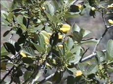 Rhamnus californica tomentella Mountain Coffeeberry