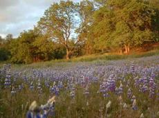Field Lupines in a Central oak Woodland - grid24_6