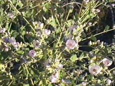Malacothamnus orbiculatus (Malacothamnus fremontii), Bush Mallow, is shown here in an older photo in our garden, Santa Margarita, California.
