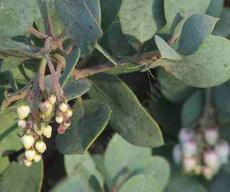 Flowers and leaves of Arctostaphylos cushingiana - grid24_6