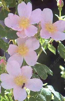 Rosa californica California wild rose - grid24_6