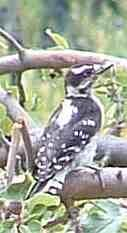 Downy woodpecker from back - grid24_6