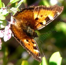 California Tortoise Shell butterfly, Nymphalis californica, top view - grid24_6