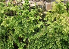 Adiantum jordanii California Maiden-Hair Fern on a wet rock wall - grid24_6
