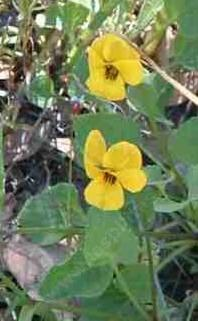 an old photo of Viola pedunculata, Johnny Jump Ups. - grid24_6