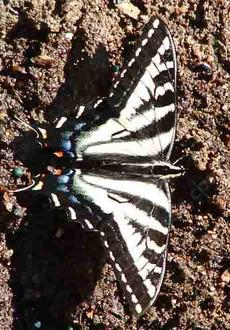 A pale Swallowtail Butterfly. - grid24_6