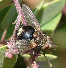 Epalpus signifer Tachinid Fly - grid24_6