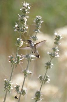 White Sage, Salvia apiana with hummingbird. - grid24_6