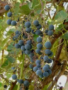 Vitis californica, California Grapes have large seeds that the birds like. Fruit taste like a concord grape.