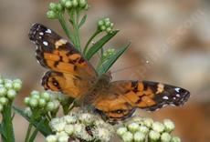 West Coast lady Butterfly on Baccharis douglasii Marsh Baccharis