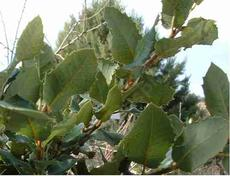 Quercus chrysolepis, Canyon Live Oak leaves - grid24_6
