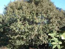 Quercus chrysolepis is known as a lot of names, some include Canyon Live Oak, Maul Oak, Iron Oak, Hickory Oak, Goldenleaf Oak and Goldencup Oak