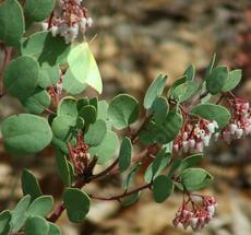 Dog Face Butterfly on Arctostaphylos mariposa, Mariposa Manzanita - grid24_6